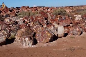 Arizona Species Found in Petrified Woods
