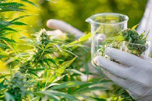 Cannabis UN